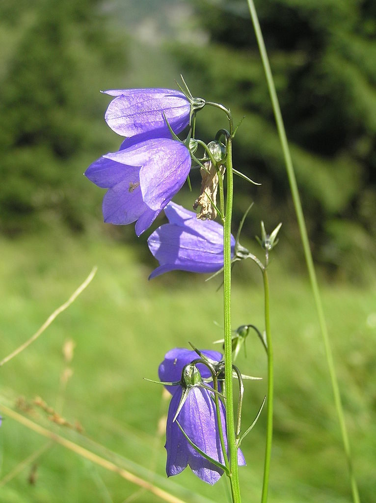 Böhmische Glockenblume (lateinisch Campanula bohemica) kommen nur im Riesengebirge vor (Endemit) – Foto: Petr Filippov Quelle: wikimedia.org