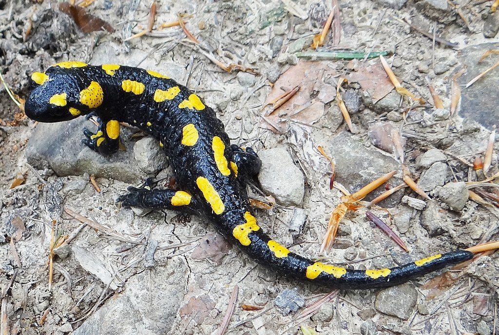 Der Feuersalamander (lateinisch Salamandra salamandra) befindet sich im Bober-Katzbach-Vorgebirge – Foto: Jerzy Opioła Quelle: wikimedia.org